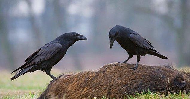 7. Kuzgunlar, yumurtalarını büyük taşlar arasında sabitleştirip küçük taşla kırabiliyor.