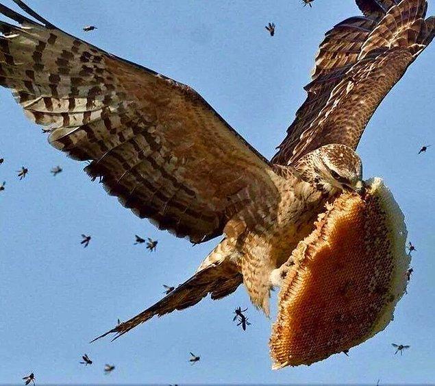 """9. """"Arı kovanı çalan bir arı şahini:"""""""