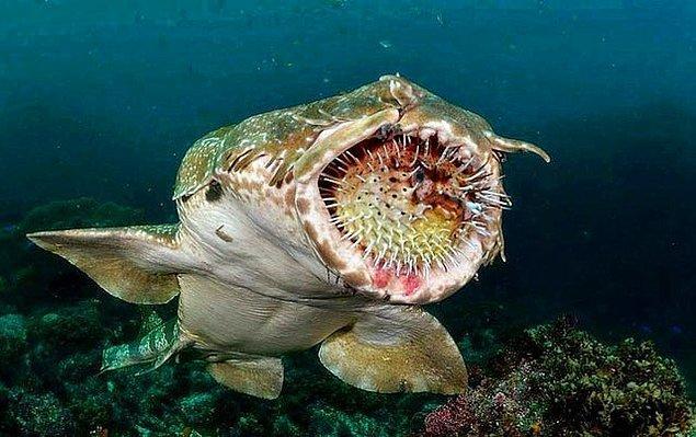 """16. """"Kirpi balığı yemeye çalışan halı köpek balığı:"""""""