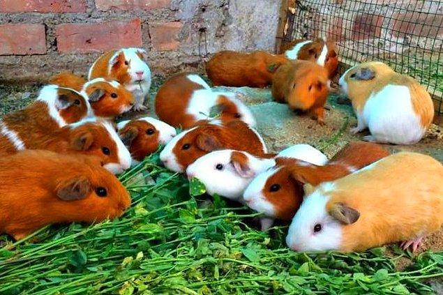 10. Peru'da Ginepigler geleneksel yemekleri için kullanılır.