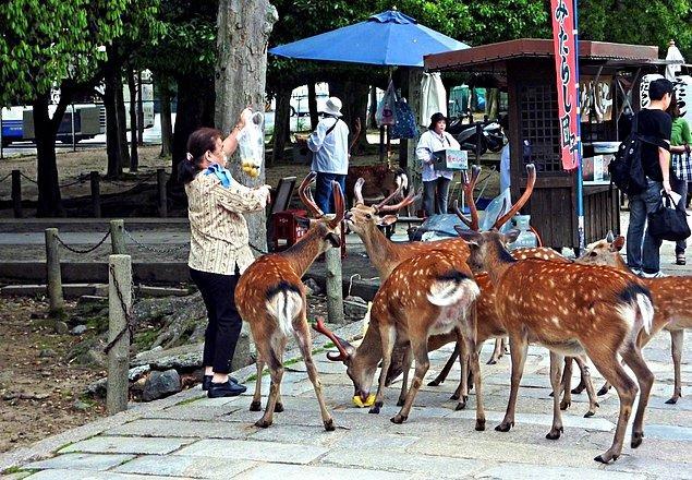 3. Japonya Nara'da bulunan vahşi geyikler insanlarla o kadar kaynaşmış durumda ki şehrin içinde gezip, ikram karşılığında insanlara reverans bile yapıyorlar.