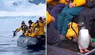 Katil Balinalardan Kaçarken Can Havliyle Turist Botuna Sığınan Penguen