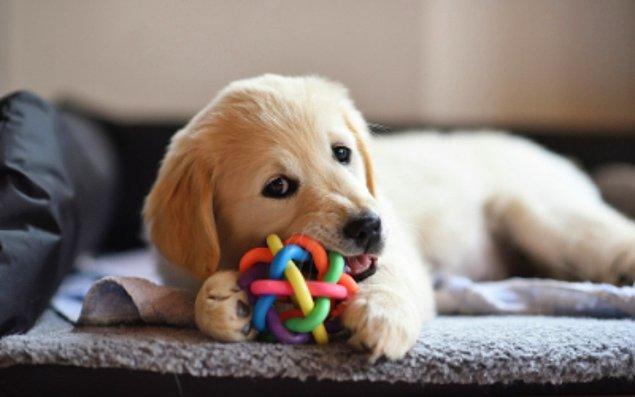 9. Köpeğiniz bir oyuncağı severse onunla saatlerce oynayabilir unutmayın.
