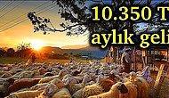 Tası Toprağı Toplayın Küçükbaş Hayvancılığa Başlıyoruz! Yılda 50 Koyun ile Zengin Olmak Mümkün mü?