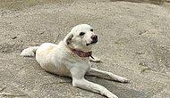 Sahibi Tedavi Gören 'Pamuk' Köpek, 14 Gün Hastane Kapısında Bekledi