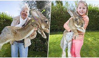 Bulana Ödül Bile Var! Guinness Rekorlar Kitabı'na Giren Dünyanın En Büyük Tavşanı Dairus Kaçırıldı