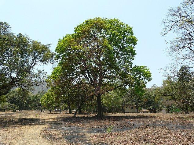 Mahua ağacı orta ve kuzey Hindistan ovalarında bulunan bir Hint tropikal ağacıdır.