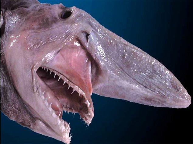 13. Goblin köpekbalığı