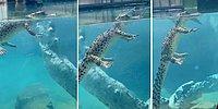 Bir Timsahın Yüzerken Kaydedilen Büyüleyici Su Altı Görüntüleri