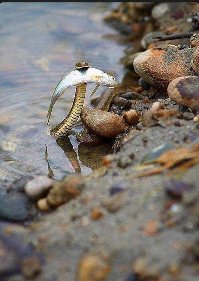 11. Boyutuna göre oldukça büyük bir balık avlayan bir su yılanı: