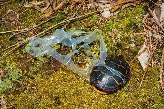Caretta caretta'lar plastiklere karşı daha duyarlı