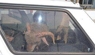 Çaldıkları 2 Koyunu Taşımak İçin 2 Otomobil Çaldılar