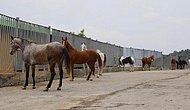 İstanbul İl Tarım ve Orman Müdürlüğü'nden Kayıp Atlar Hakkında Açıklama: 'Yerlerini Bilmemize İmkan Yok'
