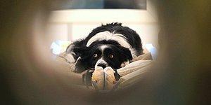 Ofislere Dönüşle Birlikte Hayvan Dostlarımızı Bekleyen Tehlike: 'Ayrılık Anksiyetesi'