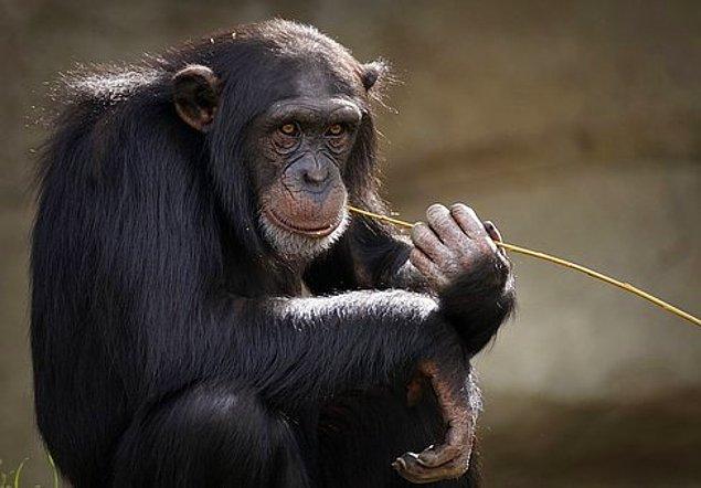 6. Ortalama bir insan vücudunda bir şempanze kadar kıl vardır ancak bizim vücudumuzdaki tüy, kıl ve saçlar çok daha ince ve kısadır.