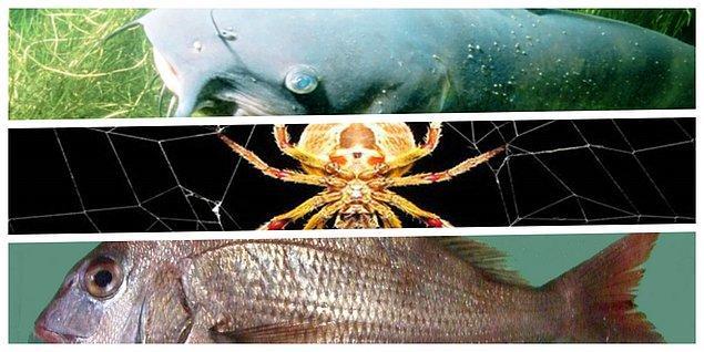 Pek çok hayvan ciğerleriyle oksijeni alarak, karbondioksiti dışarı bırakır. Ancak çupra balığı, yayın balığı ve küre örücü örümceklerinin korktukları zaman bağırsakları yoluyla nefes aldıkları tespit edilmiş.