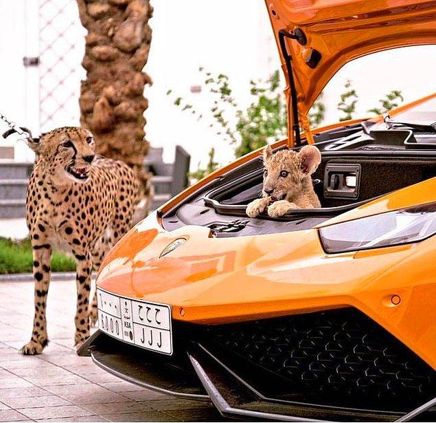 16. Evcil hayvan olarak çita ve aslan...