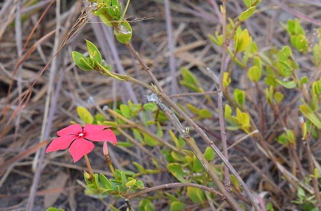 13. Madagaskar'da bulunan bazı bitkiler kanser tedavisinde kullanılıyor.