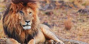 'Dünyanın En Ünlü Aslanı' Scarface Öldü