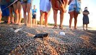 Antalya'da Caretta Caretta Yavrularının Zorlu Deniz Yolculuğu Başladı 🐢