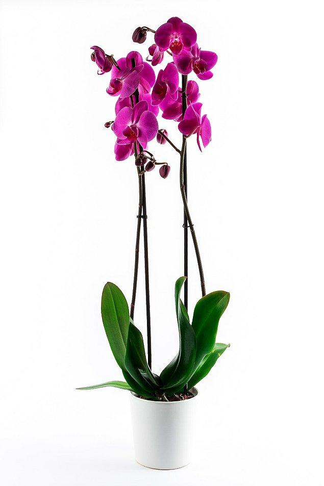 11. Orkide