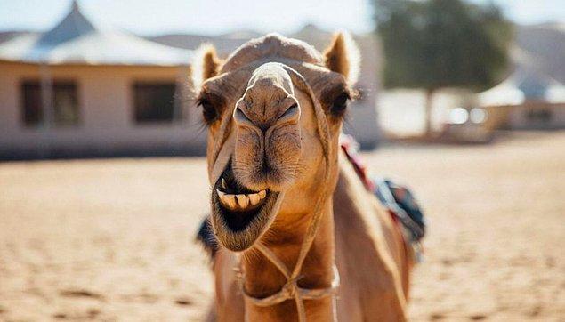 """1. """"Suudi Arabistan'dan kum ve deve ithal ediyorlar."""""""