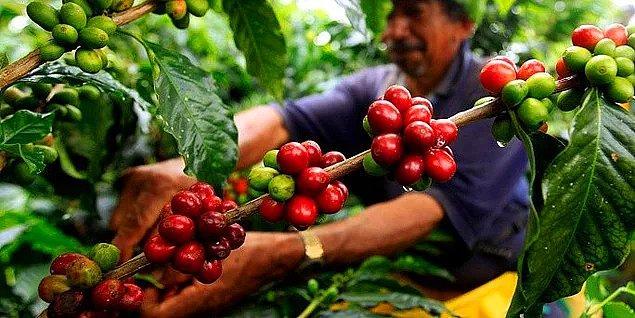 12. Kahvenin meyve haline o kadar aşina değiliz, o yüzden bu bilgi şaşırtabilir.