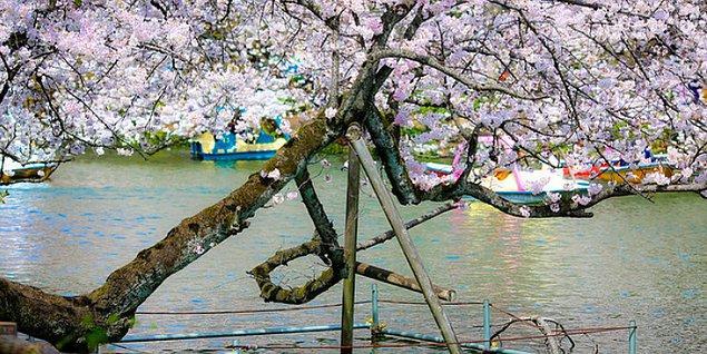 11. Japonlar yaşlı ağaçlara saygı duyar ve kelimenin tam anlamıyla onları desteklerler.