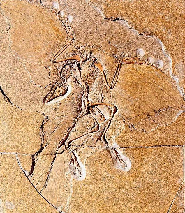 """4. Bilinen """"en eski kuş"""" türü olan Archaeopteryx'e ait fosilin nerede olduğu meçhul. Bu fosil inanılmaz değerliydi çünkü o dönem bu fosilden dünyada sadece 3 tane vardı."""