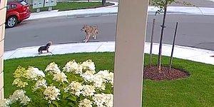 Kendini Çakalın Önüne Atarak 10 Yaşındaki Dostunu Koruyan Kahraman Köpek
