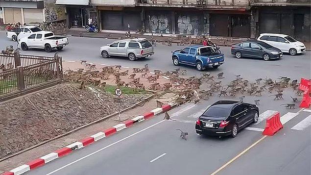 Görevliler de yetersiz kalınca maymunlar sokaklara dökülmeye başladılar...
