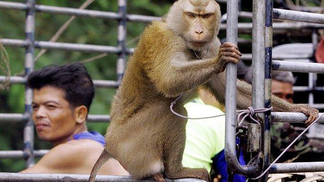 Tayland'da maymunlar pandemi öncesinde gelen turistler tarafından besleniyorlardı. Fakat pandemiden sonraya ülkeye turist gelmediği için maymunlar da aç kalmaya başladılar.