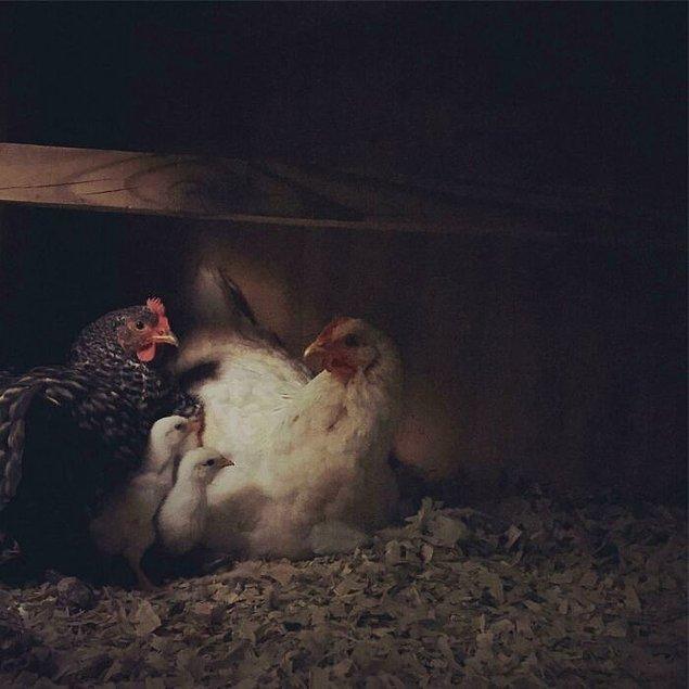 """1. """"Bir gece tavukları görmek için kolumu kümese sokup çekmiştim."""""""