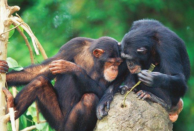 17. şempanzelerce kullanılmış yemiş kıracağı (fildişi sahilleri)