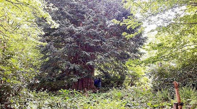 2. Porsuk ağacı