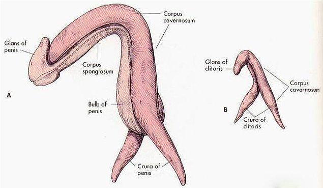 1. Penisin görünen kısmı kadar içeride de devamı vardır ve bir bütün olarak boomeranga benzer.