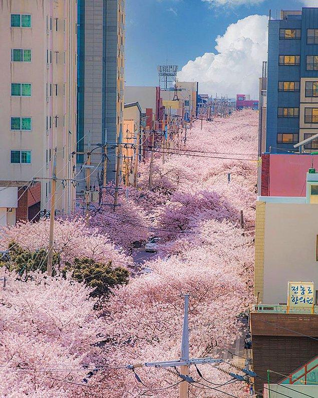 6. Güney Kore'nin Jeju şehrinde bahar pespembe geçiyor!