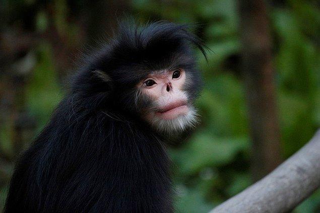 15. Myanmar maymunu
