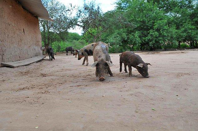 Virüs ilk ortaya çıktığında hasta domuzlardan insanlara geçmişti.