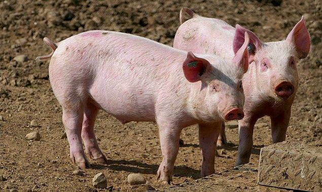 Hastalanan domuzlar genellikle belirti göstermiyor.