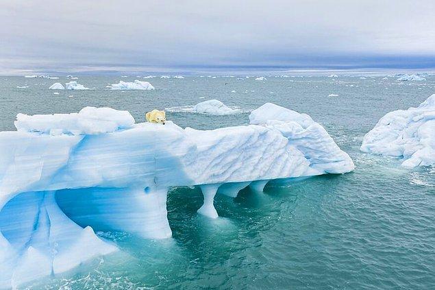 15. Avlanan Kutup Ayısı - Florian Ledoux (Vahşi Yaşam Kategorisi Yüksek Övgüye Değer Ödülü)