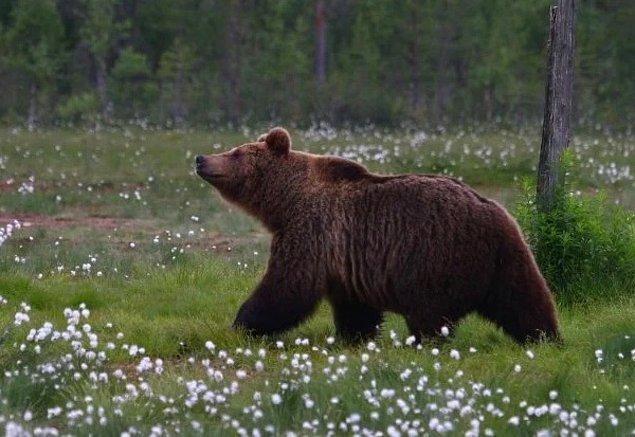 1950'lerden itibaren ayılarda bakteri seviyesinde artış yaşandığını keşfettiler.