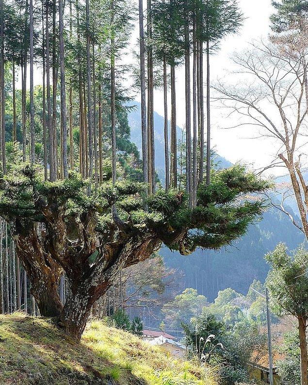 Sedir ağacı, bonsai ağacı gibi düzenli olarak budanıyor ve aşılanıyor.