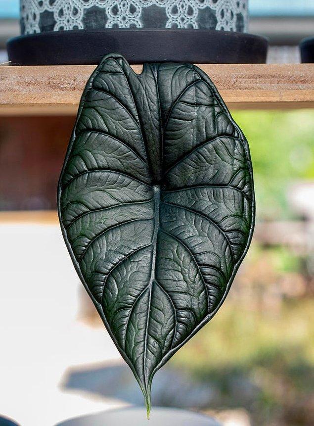 8. Fil kulağı bitkisinin ilginç yaprağı: