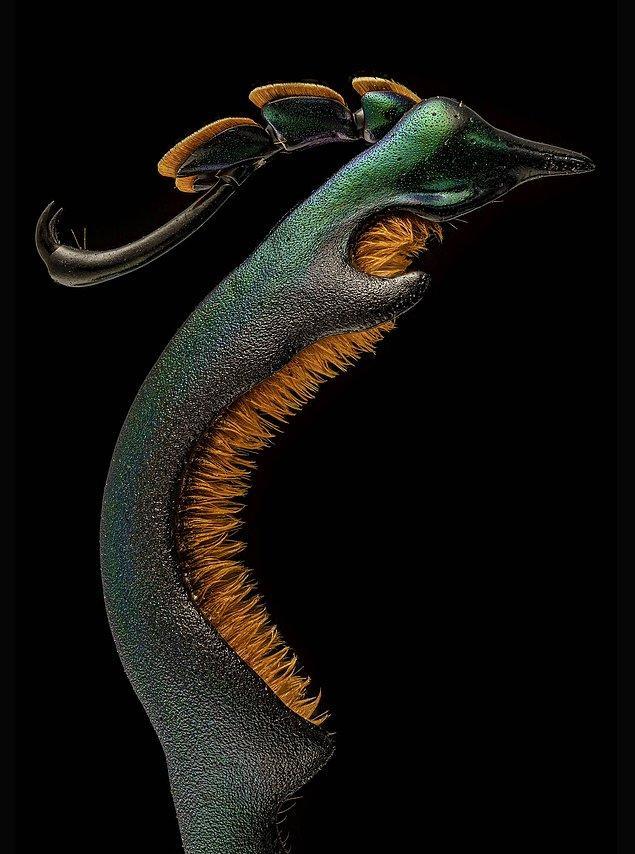 11. Sagra buqueti böceğinin arka bacağı.