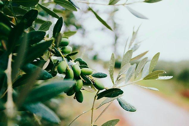 15. Antik Yunan'da güneş kremi yerine zeytinyağı kullanılırdı.