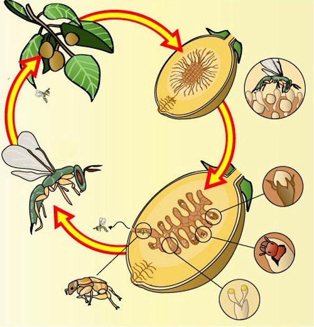 Peki gelelim bu sürecin nasıl işlediğine: Bazı incir türleri erkek bazıları dişidir, dişileri tozlaştırmak için incir arısına ihtiyacı vardır.