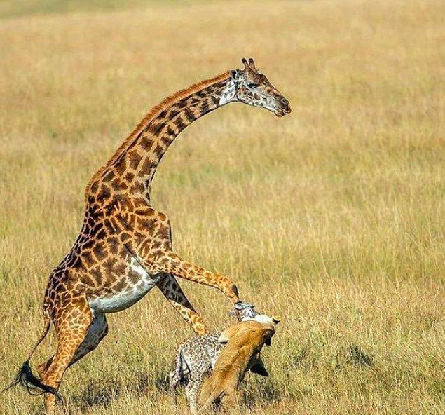 1. Yavrusunu aslandan kurtarmaya çalışan bir zürafa: