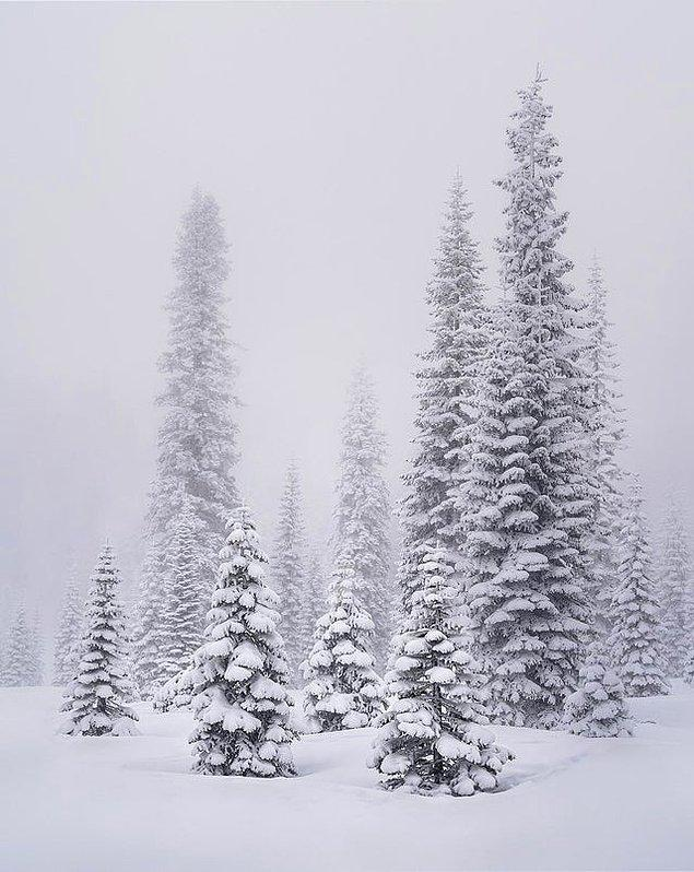 7. Kuzey Kaliforniya'nın sisli ormanlarındaki ağaçlar aile pozu vermiş gibi...