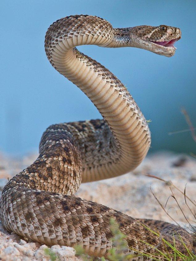8. Çıngıraklı yılan